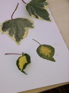 Ros' leaves