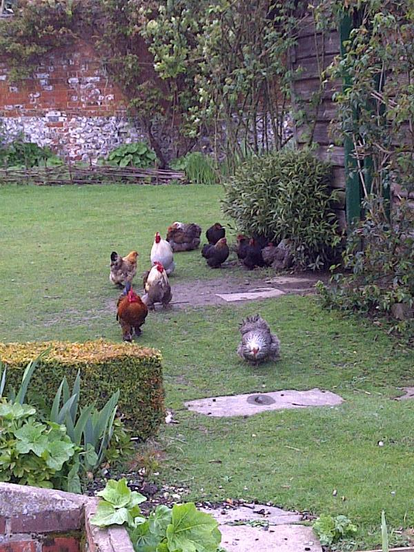 Chickens at Upton Grey Manor House