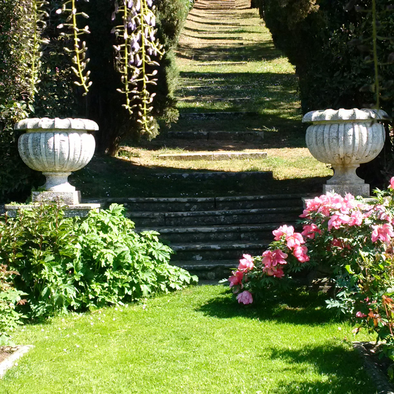 Peonies in the rose garden